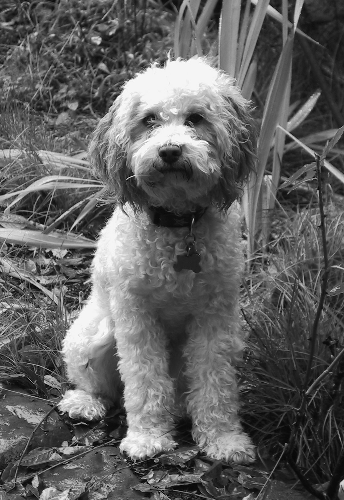 ziggy-with-leaf-in-the-garden-cropped-bw