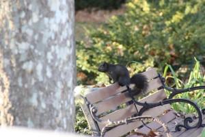 The Black Squirrel of Niagara Falls